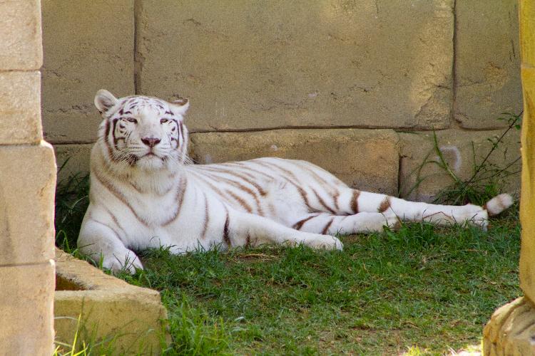 Rancho Texas Tigre